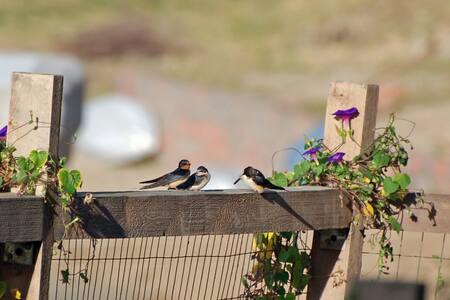 Barn-swallows-on-neighbors-fence